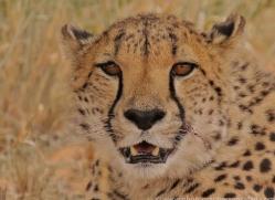 cheetah-copyright-photographers-on-safari-com-6820