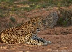 leopard-copyright-photographers-on-safari-com-6793