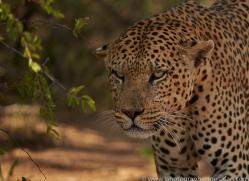 leopard-copyright-photographers-on-safari-com-6794
