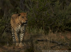 leopard-copyright-photographers-on-safari-com-6795