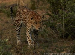 leopard-copyright-photographers-on-safari-com-6796