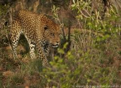leopard-copyright-photographers-on-safari-com-6798