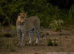 leopard-copyright-photographers-on-safari-com-6799