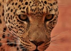 leopard-copyright-photographers-on-safari-com-6801