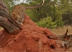 leopard-copyright-photographers-on-safari-com-6803