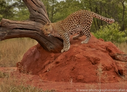 leopard-copyright-photographers-on-safari-com-6805