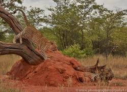 leopard-copyright-photographers-on-safari-com-6807