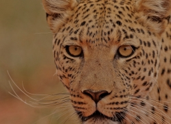 leopard-copyright-photographers-on-safari-com-6811