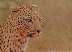 leopard-copyright-photographers-on-safari-com-6812
