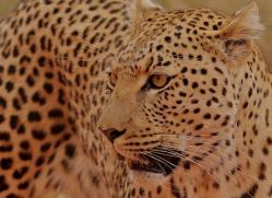 leopard-copyright-photographers-on-safari-com-6814