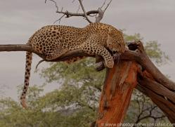 leopard-copyright-photographers-on-safari-com-6815