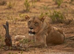 lion-copyright-photographers-on-safari-com-6773