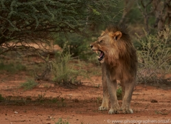 lion-copyright-photographers-on-safari-com-6779