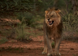 lion-copyright-photographers-on-safari-com-6780