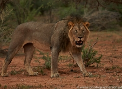 lion-copyright-photographers-on-safari-com-6781