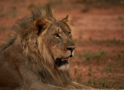 lion-copyright-photographers-on-safari-com-6782