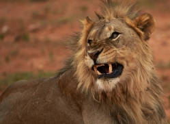 lion-copyright-photographers-on-safari-com-6783