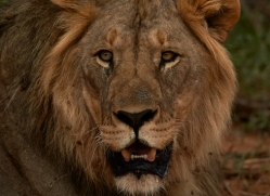 lion-copyright-photographers-on-safari-com-6785