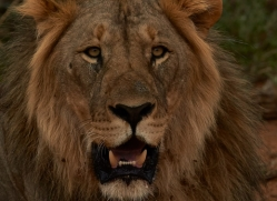 lion-copyright-photographers-on-safari-com-6787