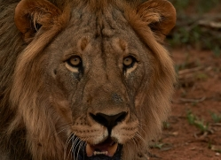 lion-copyright-photographers-on-safari-com-6788