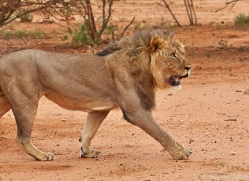 lion-copyright-photographers-on-safari-com-6790