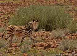 mountain-zebra-copyright-photographers-on-safari-com-6996