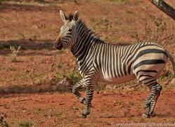 mountain-zebra-copyright-photographers-on-safari-com-6999