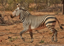 mountain-zebra-copyright-photographers-on-safari-com-7000