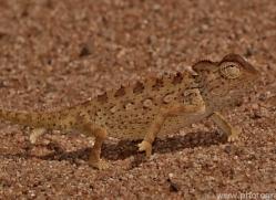 namaqua-chameleon-copyright-photographers-on-safari-com-6985