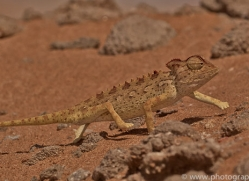 namaqua-chameleon-copyright-photographers-on-safari-com-6987