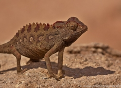 namaqua-chameleon-copyright-photographers-on-safari-com-6988