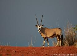 oryx-copyright-photographers-on-safari-com-7002