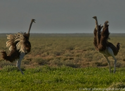 ostrich-copyright-photographers-on-safari-com-7006