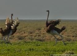 ostrich-copyright-photographers-on-safari-com-7007