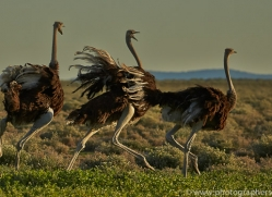 ostrich-copyright-photographers-on-safari-com-7008