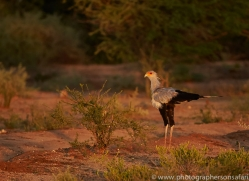 secretary-bird-copyright-photographers-on-safari-com-7046