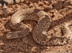 sidewinder-snake-copyright-photographers-on-safari-com-7033