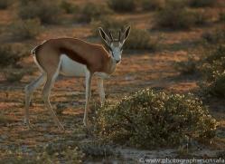 springbok-copyright-photographers-on-safari-com-7017