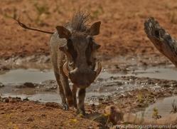 wart-hog-copyright-photographers-on-safari-com-7038