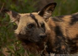 wild-dogs-copyright-photographers-on-safari-com-6835