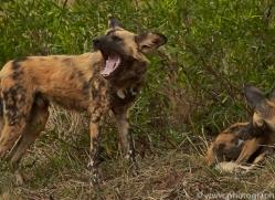 wild-dogs-copyright-photographers-on-safari-com-6836