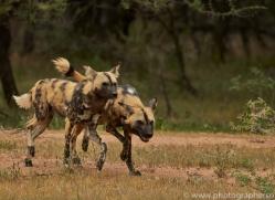 wild-dogs-copyright-photographers-on-safari-com-6837