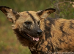 wild-dogs-copyright-photographers-on-safari-com-6838