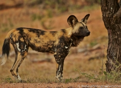 wild-dogs-copyright-photographers-on-safari-com-6841