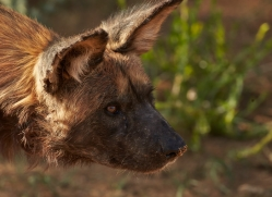 wild-dogs-copyright-photographers-on-safari-com-6842
