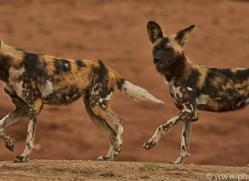 wild-dogs-copyright-photographers-on-safari-com-6849