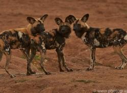 wild-dogs-copyright-photographers-on-safari-com-6850