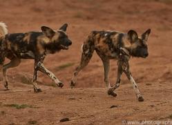 wild-dogs-copyright-photographers-on-safari-com-6851