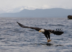 bald-eagle-alasaka-4620-copyright-photographers-on-safari