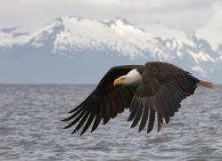 bald-eagle-alasaka-4625-copyright-photographers-on-safari